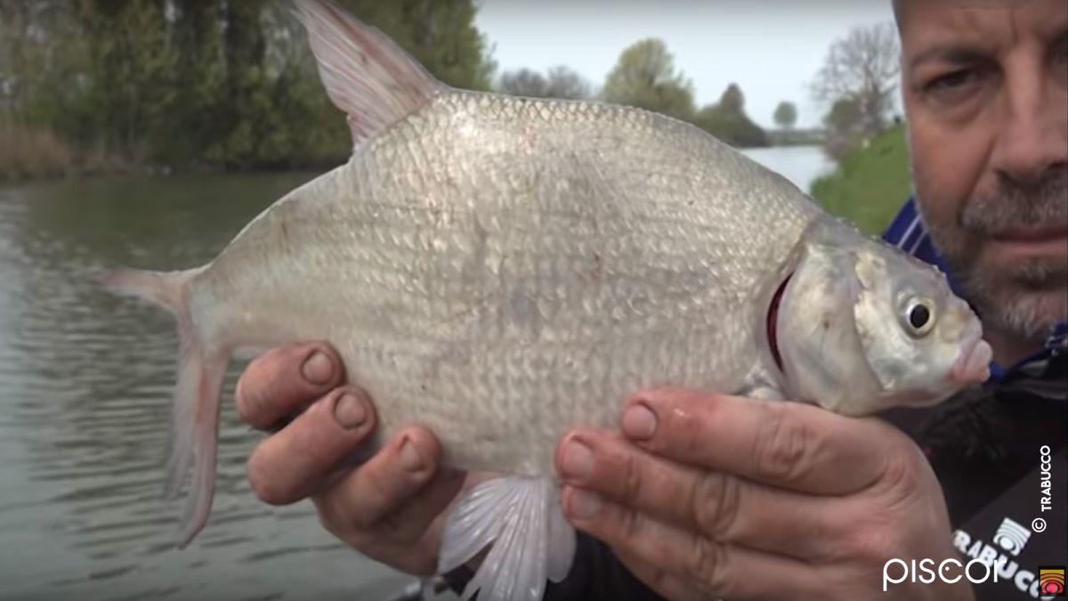 Pesca de Bremas con Roubaisienne. La elección de Engodos, Tierras y Flotadores
