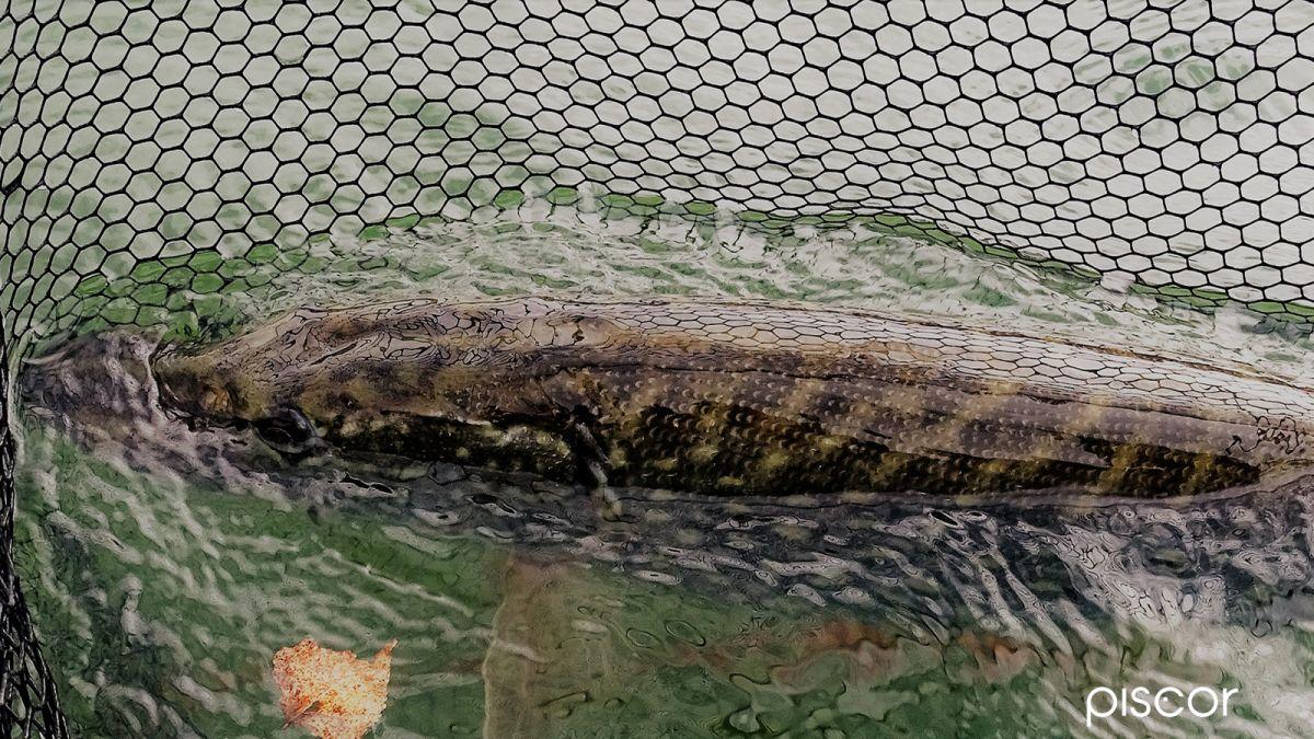 Mulinello Pesca del Luccio 16