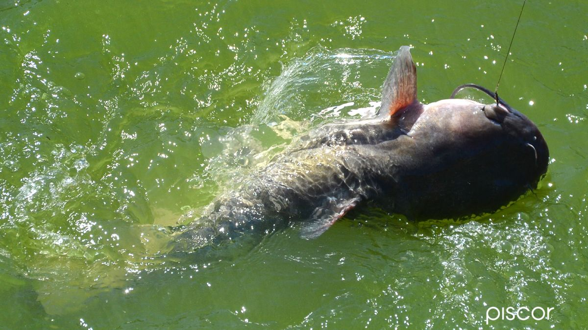 Pêche à la Barbue de Rivière 1
