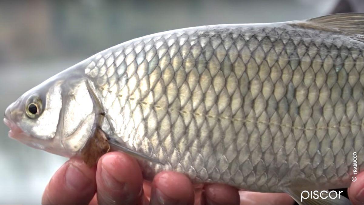 Pêche Chevesne Feeder 6