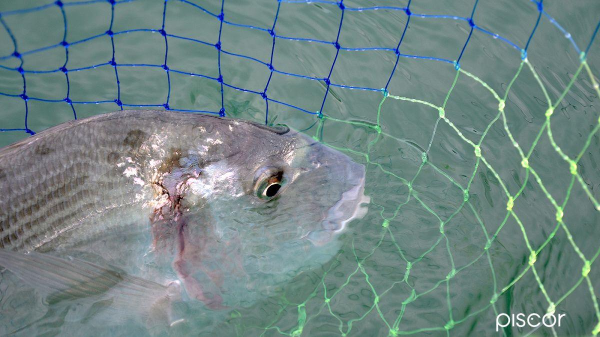 Pêche de la Dorade au Crabe 0