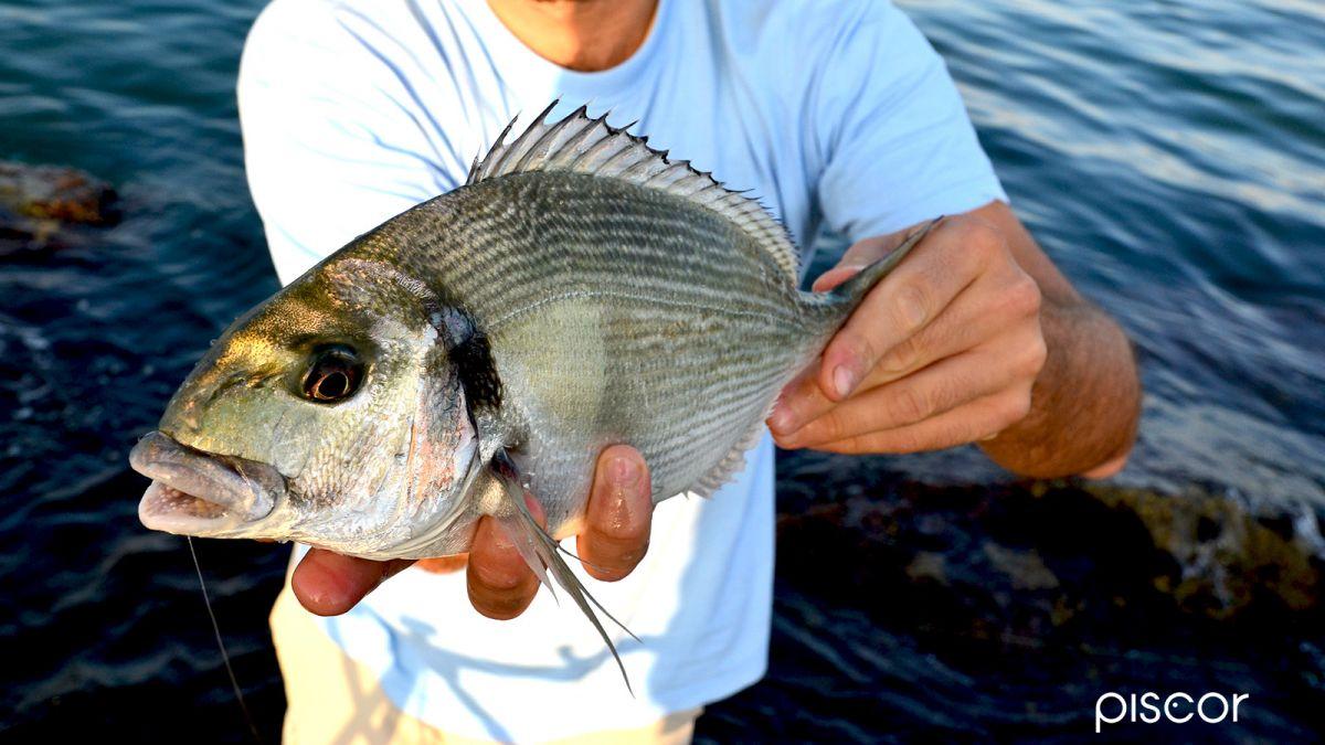 Pêche de la Dorade au Crabe 7