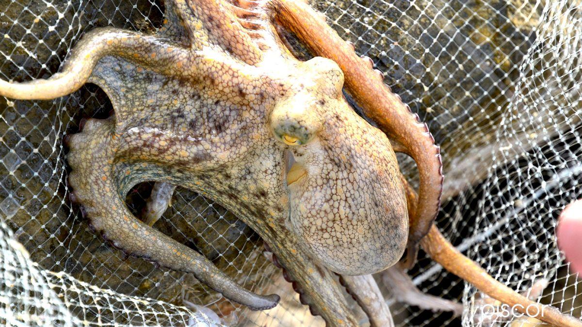 Pêche de la Dorade au Crabe 8