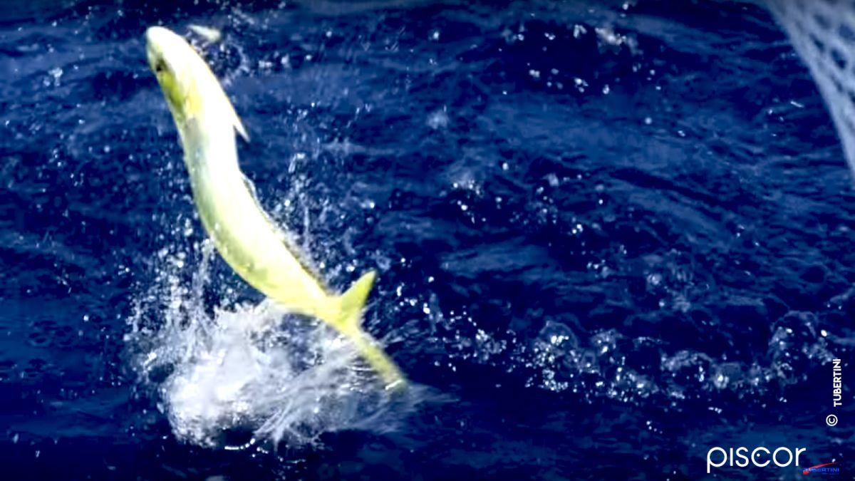 Pêche de la Dorade Coryphène 0