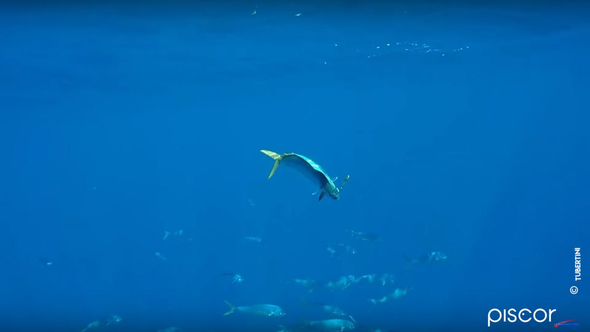 Pêche de la Dorade Coryphène 1
