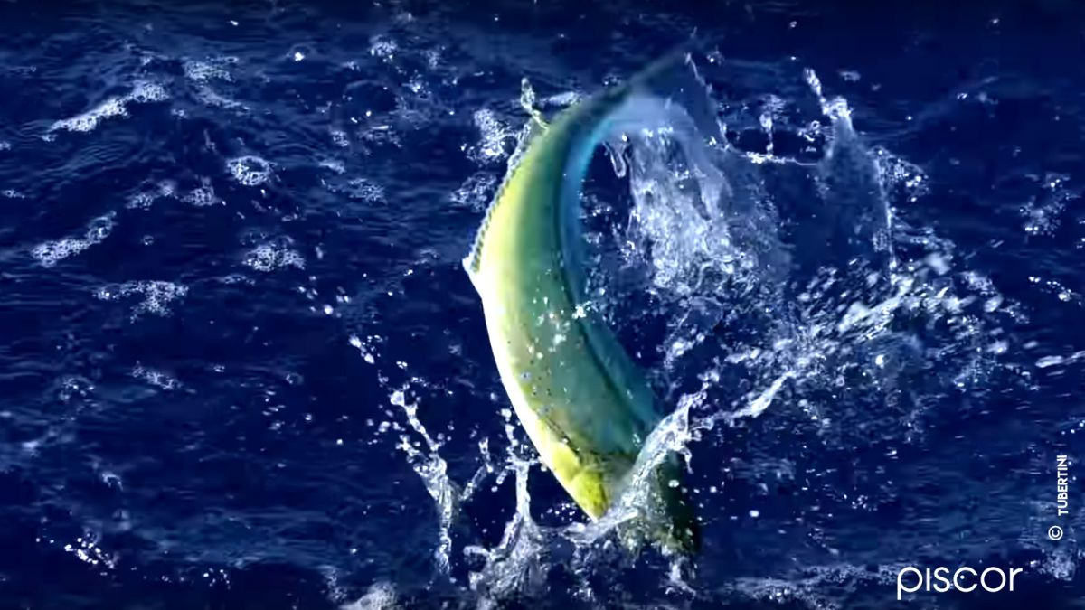 Pêche de la Dorade Coryphène 4
