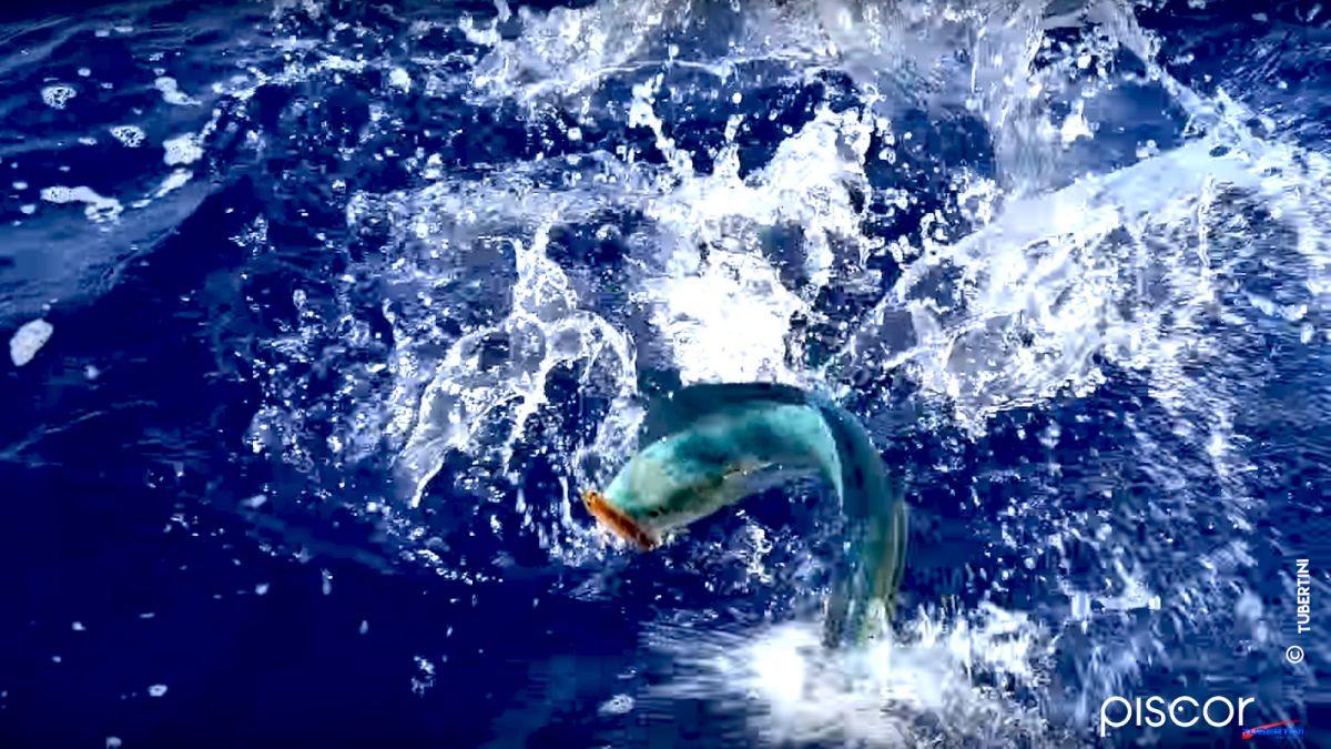 Pêche de la Dorade Coryphène 5