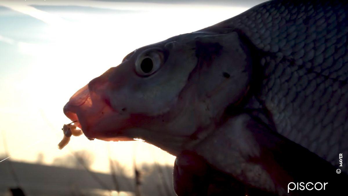 Pêche du Barbeau à la Grande Canne 3