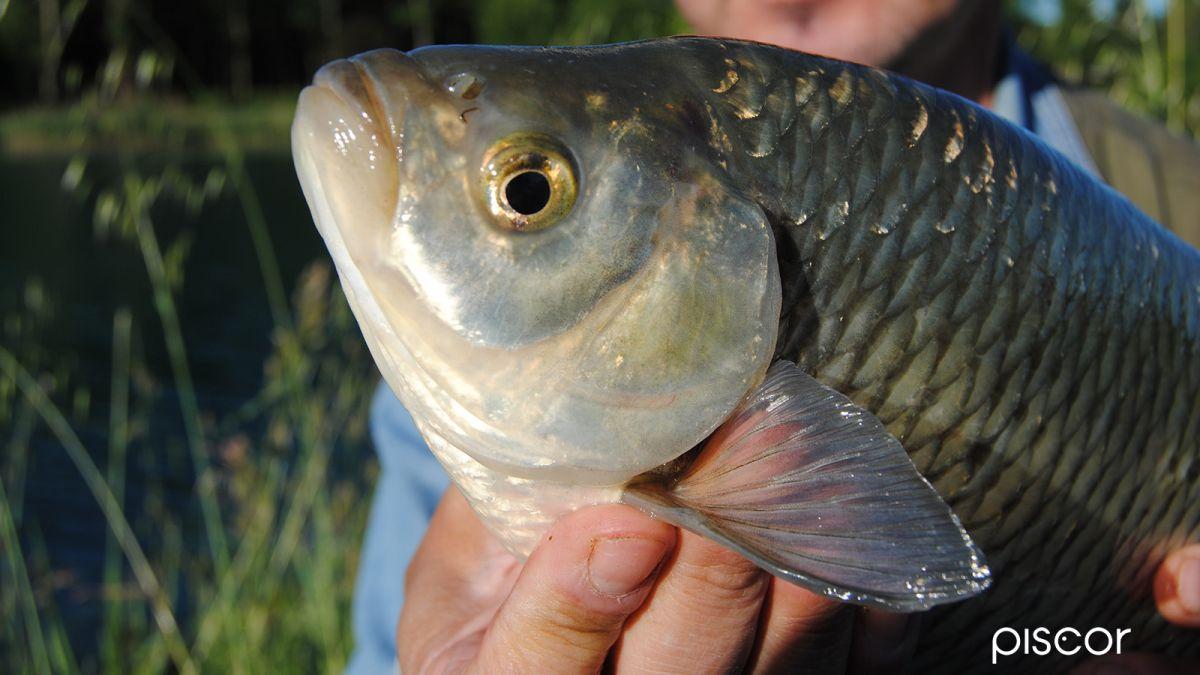 Pêche du Rotengle 4