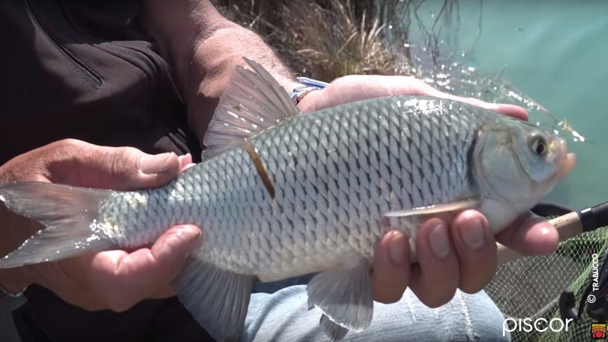 Pêche du Rotengle au Feeder 4
