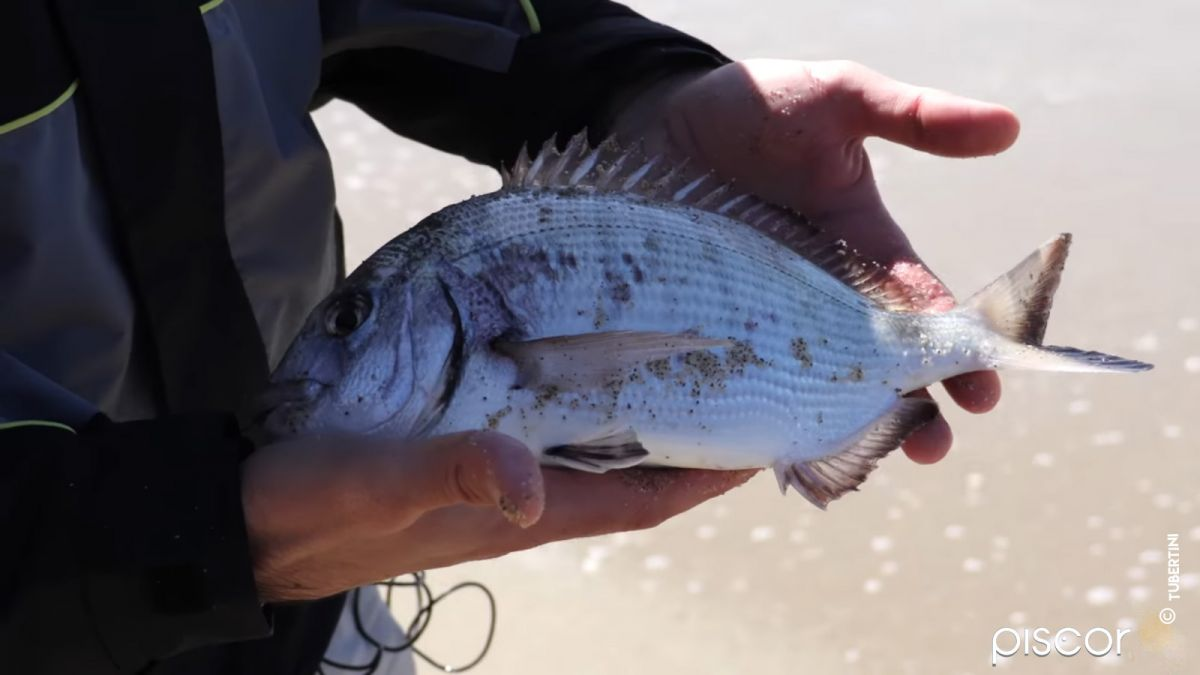 Pêche du Sar et de la Dorade en Surfcasting 12