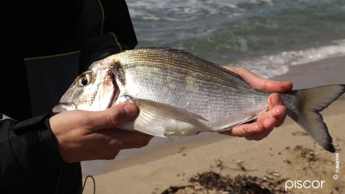 Pêche du Sar et de la Dorade en Surfcasting 6