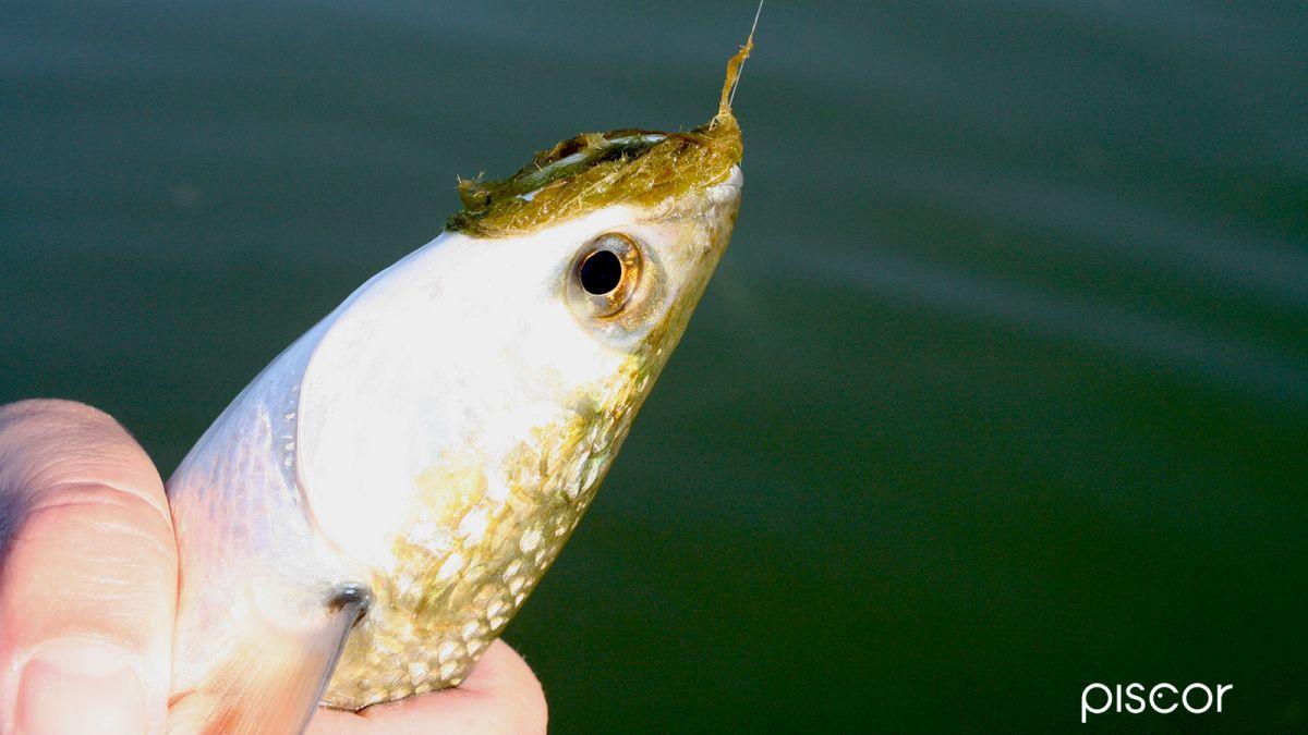 Pesca al Cefalo 3
