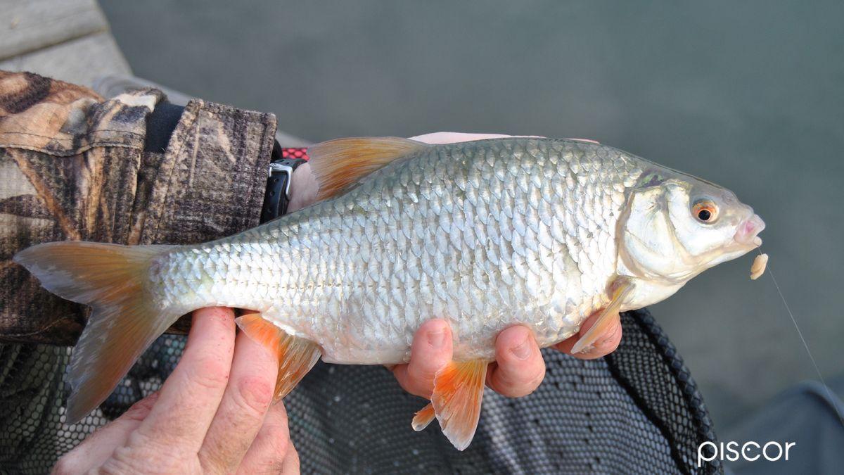 Pesca al Gardon con Semi di Canapa 6