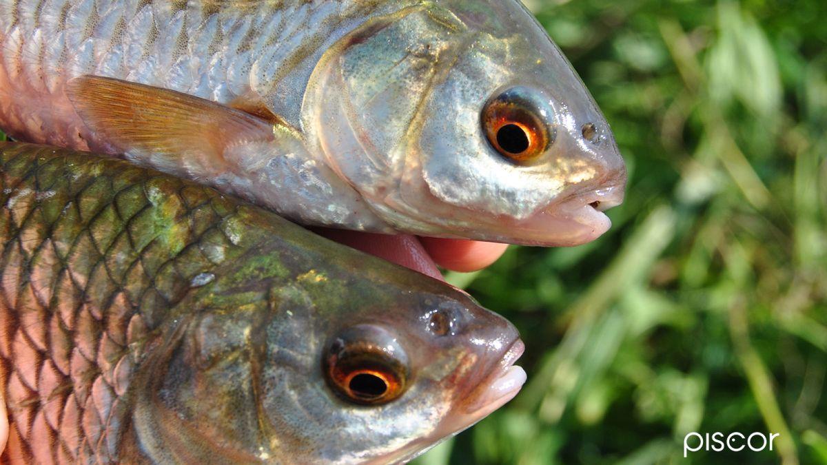 Pesca al Gardon con Semi di Canapa 7