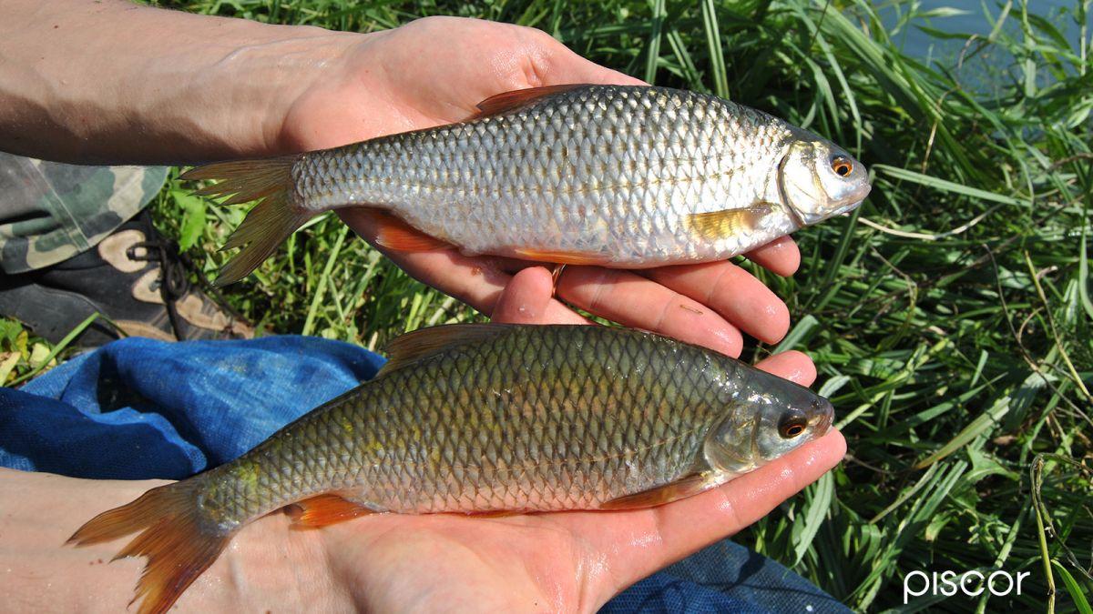 Pesca al Gardon con Semi di Canapa 8