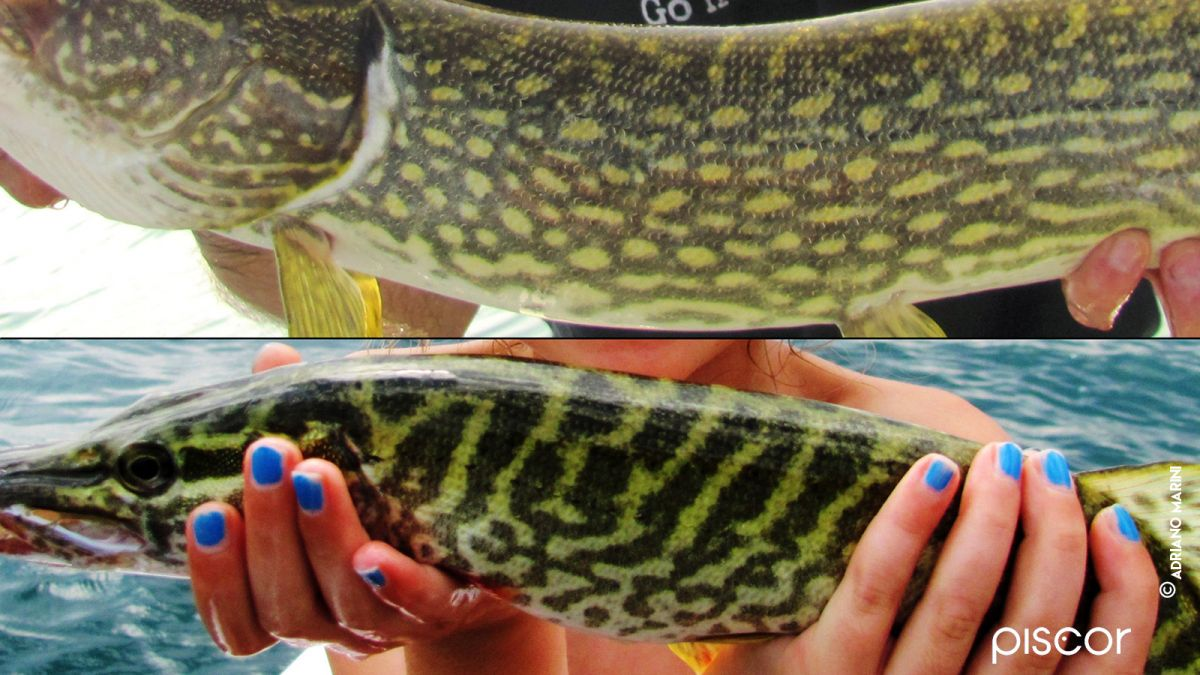 Pesca al Luccio 2