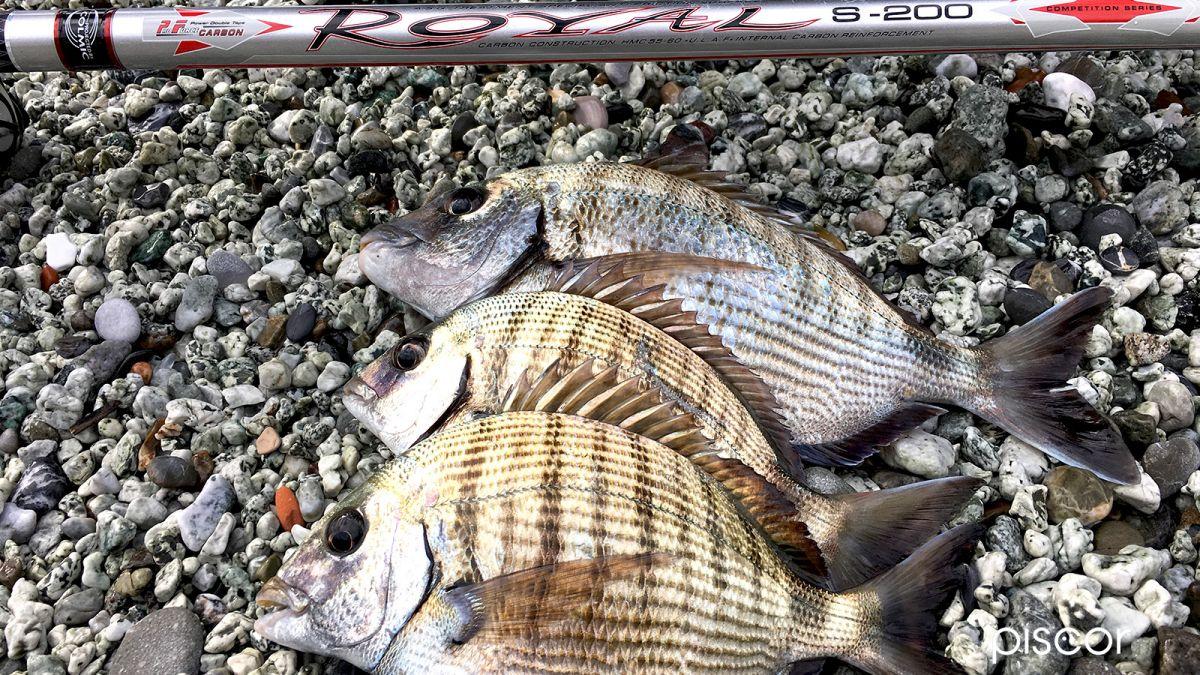 Pesca al Sarago con Bolognese 4