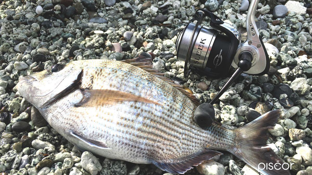 Pesca al Sarago con Bolognese 6