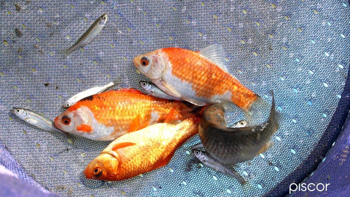 Pesca Alborella 4