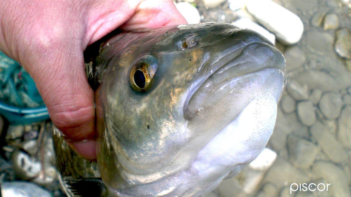 Pesca alla Bolognese 5