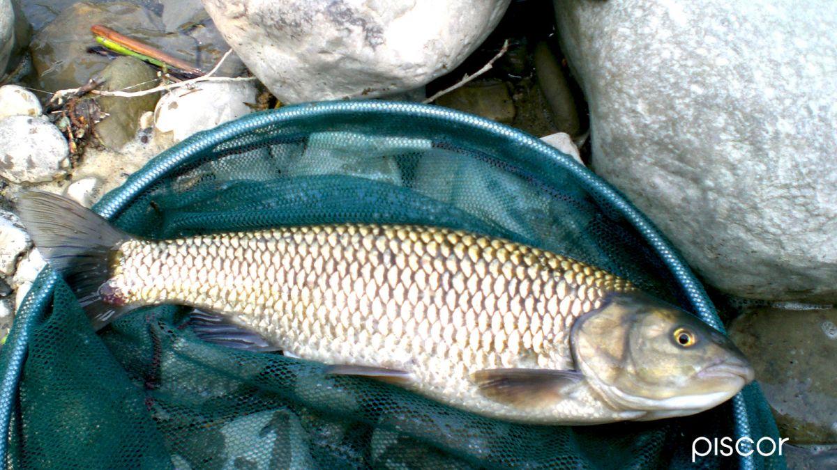Pesca alla Bolognese 6