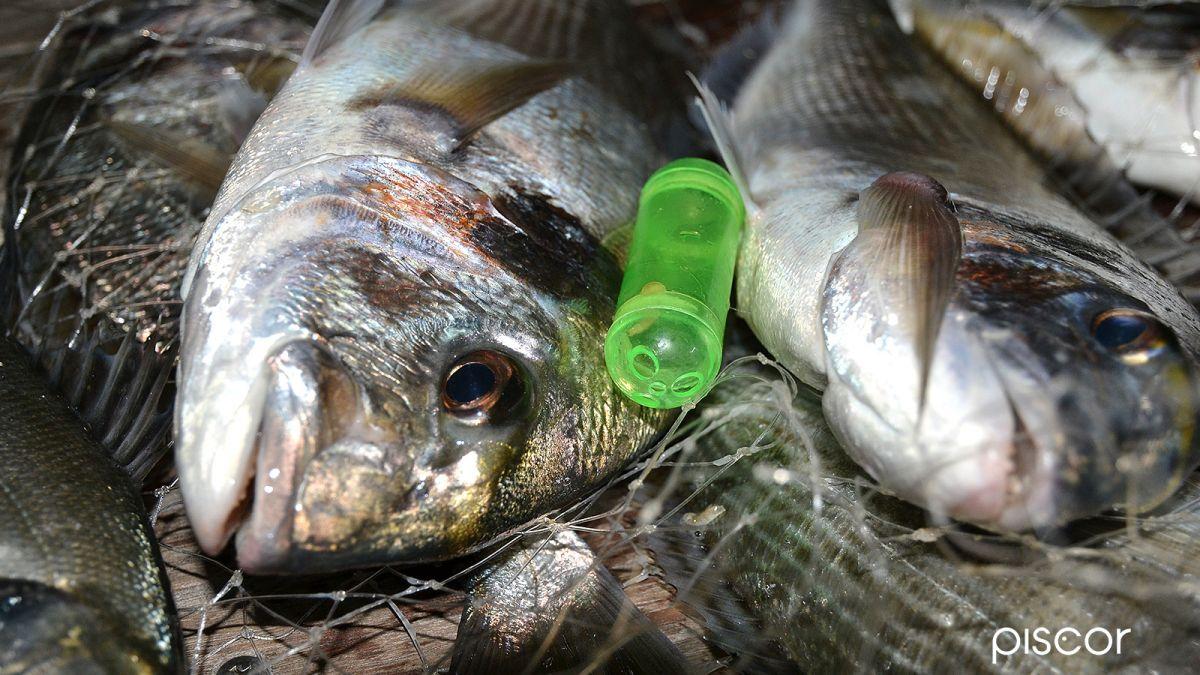 prezzo competitivo più tardi migliore a buon mercato Pesca alla Bolognese in Mare con Pasturatore Spiombato | Piscor