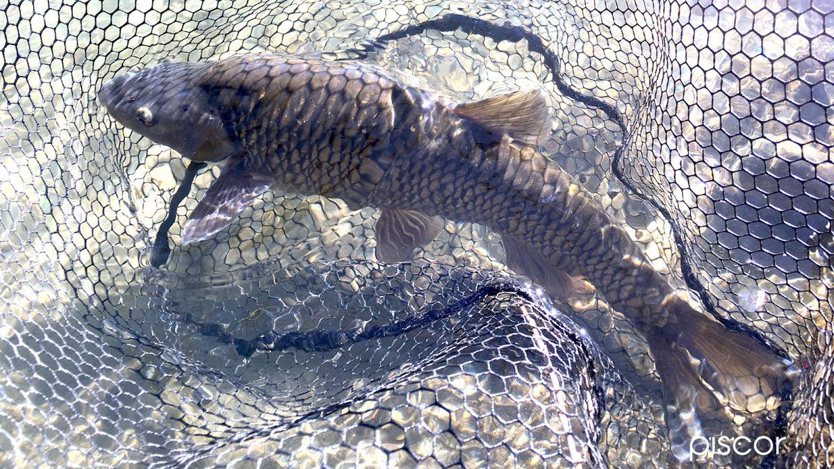 Pesca alla Passata 8