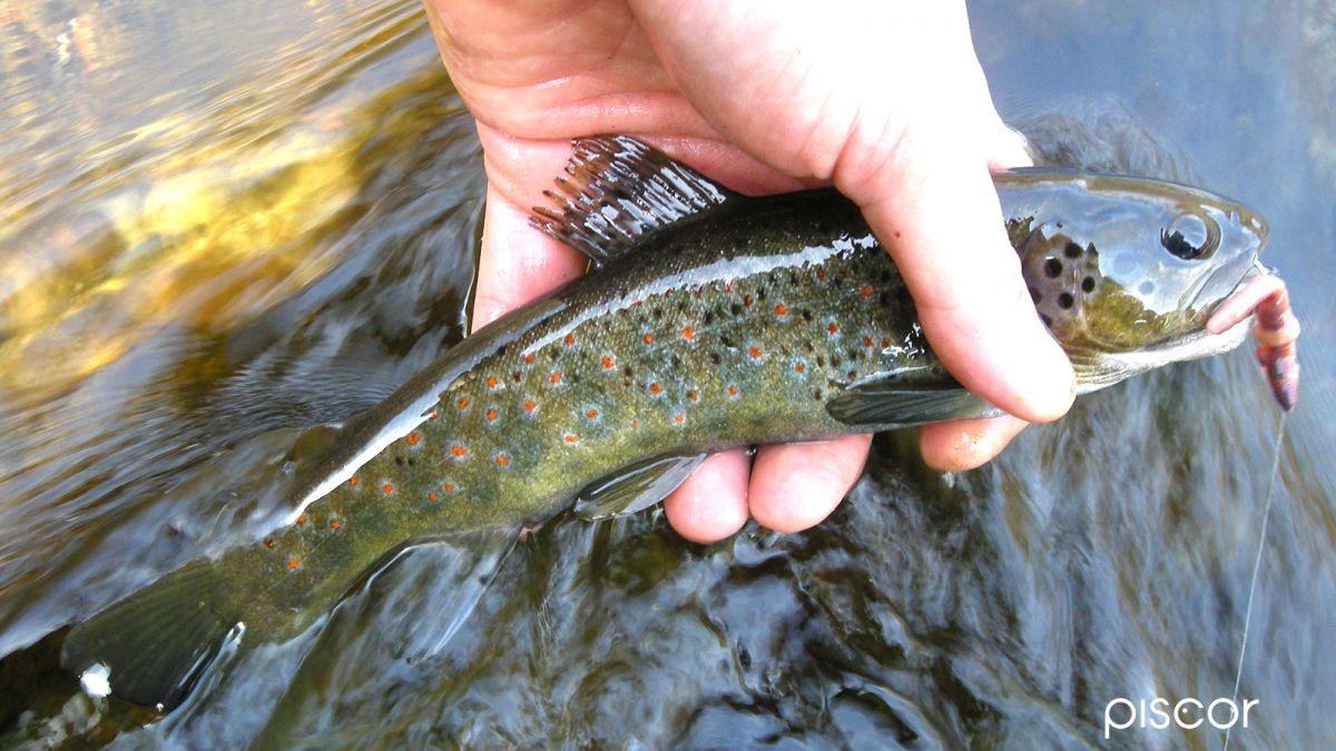 Pesca alla Trota in Torrente 9