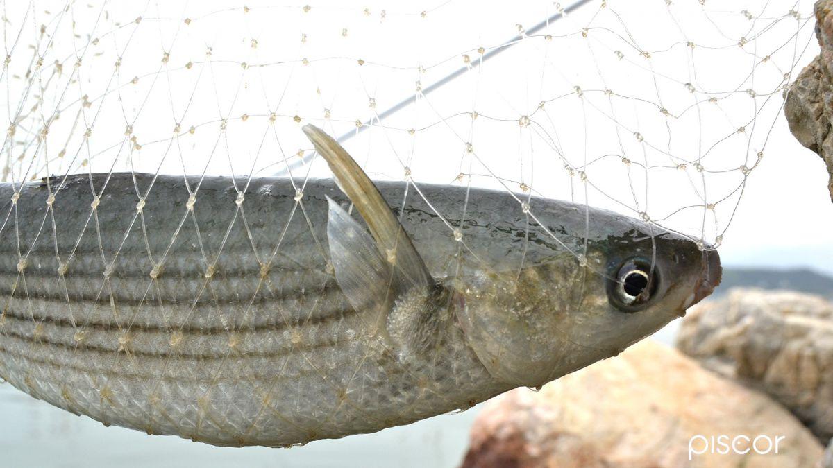 Pesca con la Roubaisienne 0