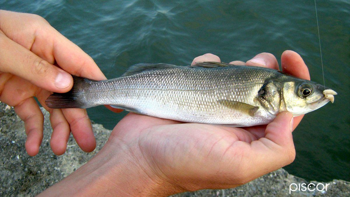 Pesca con la Roubaisienne 5