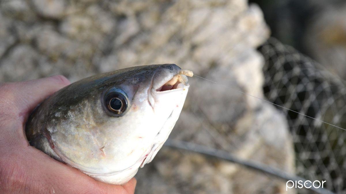 Pesca con la Roubaisienne 7