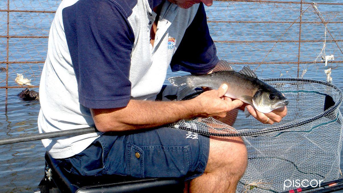 Pesca Inglese Foce 6