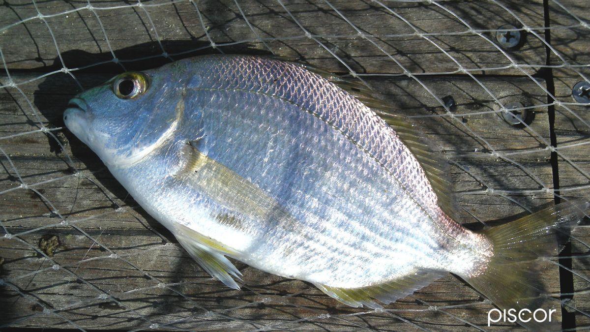 Pesca per Spigola 6