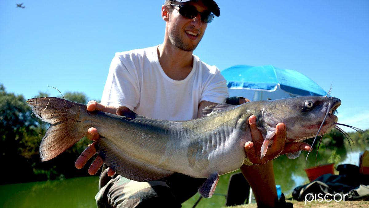 Pesce Gatto Americano 4