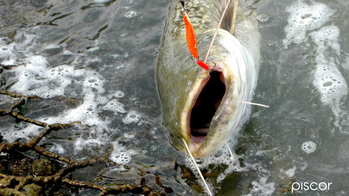 La Pesca Al Siluro Da Riva A Spinning Piscor